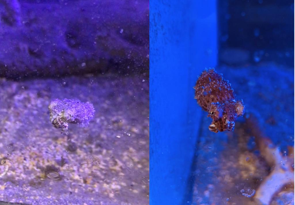 baby dwarf cuttlefish (Sepia bandensis) in deheynlab